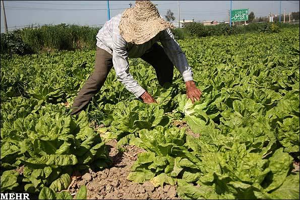 مزرعه کاهو کشاورزی