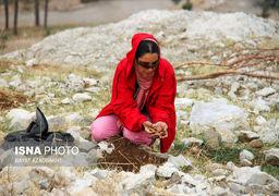 کاشت بلوط بومی در خرم آباد