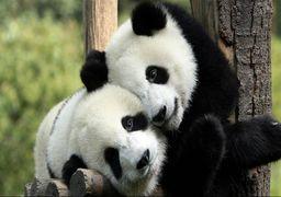 پانداهای چین در دانمارک؛ حیوانات کمیاب در خدمت دیپلماسی