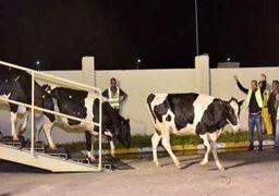 تداوم واردات گاو شیرده به قطر
