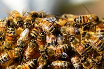 یک کشف شگفت انگیز در مورد زنبورهای عسل