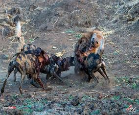 سگهای وحشی آفریقایی در پارک ملی زیمباوه