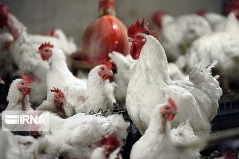 نرخ مرغ بازهم افزایش پیدا کرد
