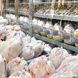 توزیع مرغ گرم در فروشگاه های زنجیره ای از شنبه
