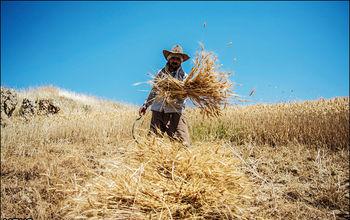تولید گندم اقتصادی نیست