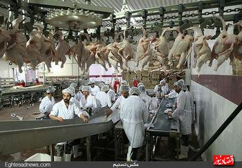 مرغ در سراشیبی قیمت؛ علت چیست؟