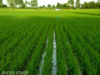 عرضه برنج خارجی به نام برنج ایران