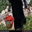 ممنوعیت در صادرات گوجه فرنگی