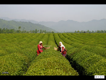 آخرین جزییات تحقیق و تفحص از سازمان چای