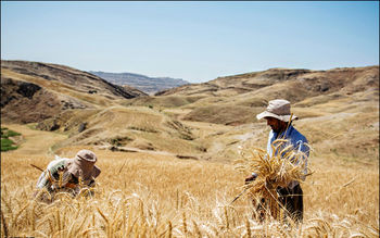 خرید تضمینی گندم به مرز ۶.۴ میلیون تن رسید