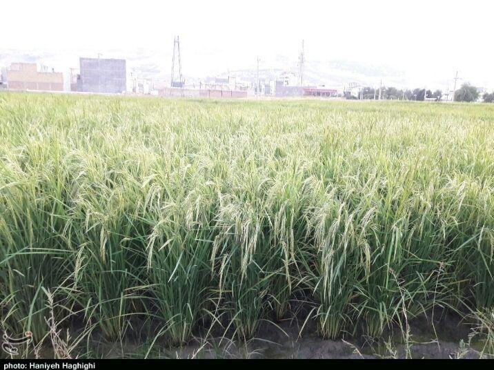 آبیاری مزارع برنج با آب فاضلاب در دورود + عکس