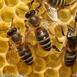 ادعای عجیب یک کارشناس درباره درمان کرونا با نیش زنبور