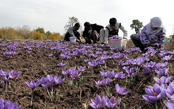 صادرات فله ای زعفران آزاد شد