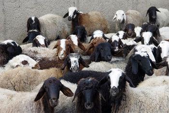 مرگ پشمالو ترین گوسفند جهان +عکس