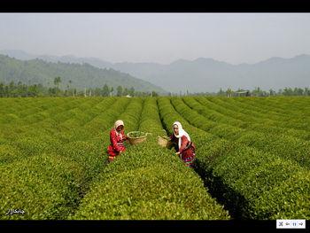 تحقیق و تفحص از سازمان چای 2 ماه دیگر نهایی می شود