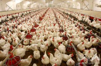 دولت کل مرغ ها را تضمینی بخرد / از جیب خوری مرغ داران