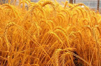 احتمال کاهش تولید گندم در سال جاری