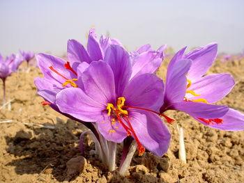 افزایش 77 درصدی قیمت زعفران / نگاه زعفران به دلار