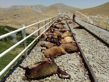 قطار شیراز-تهران، ۲۵ راس گوسفند را له کرد