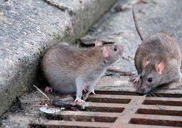 ساخت رباتی که موش های تهران را می کشد !