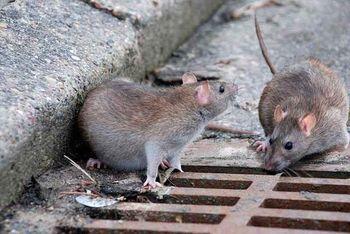 افزایش جمعیت «موشهای نروِژی» در پایتخت صحت دارد؟