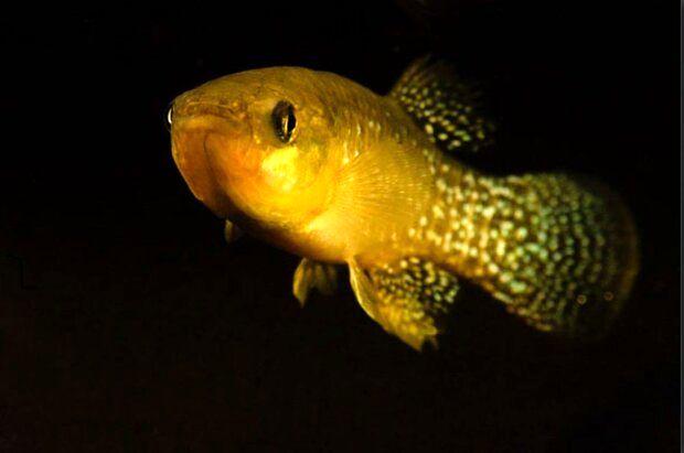 این ماهی میتواند در آبهای آلوده زندگی کند!