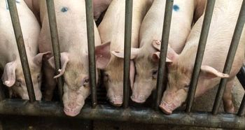 بیماری تب خوکی آفریقایی به مرزهای اروپا رسید