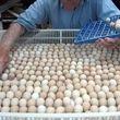 نوسانات ارزی، مهمترین علت افزایش قیمت مرغ و تخم مرغ