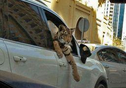 دور دور با حیوانات وحشی 1 تا 6 ماه حبس دارد