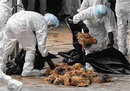 خسارت سنگین آنفلوآنزای فوق حاد پرندگان به مرغداران