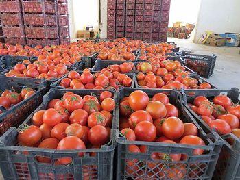 مجوز صادرات گوجه فرنگی صادر شد