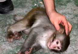 حمله یک میمون به آرایشگاه زنانه در بابل