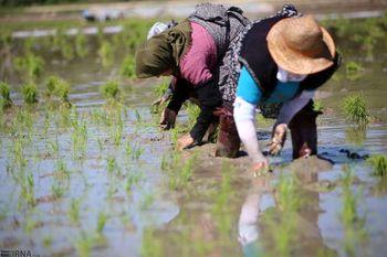 ایران در تولید برنج به خودکفایی رسید / افزایش ۴۲ درصدی تولید برنج